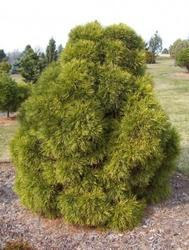 Borovice lesní 'Globosa Viridis'- Borovice lesní 'Globosa Viridis' - 1