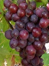Vinná réva 'Cardinal'-Vitis vinifera 'Cardinal'