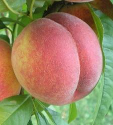 Broskvoň Favorita Morettini - Prunus Favorita Morettini