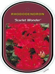 Rododendron 'Scarlet Wonder' – Rhododendron 'Scarlet Wonder'     - 1