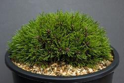 Borovice blatka 'Ježek' - Pinus rotundata 'Ježek'                   - 1