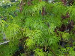 Javor dlanitolistý 'Emerald Lace'-Acer palmatum                   - 1