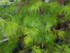 Javor dlanitolistý 'Emerald Lace'-Acer palmatum                   - 1/2