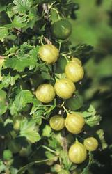 Angrešt žlutý 'Lady Sun' - Ribes uva-crispa 'Lady Sun' keřový - 1