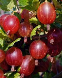 Angrešt Kameniar - Ribes uva-crispa Kameniar