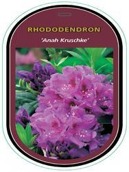Rododendron (T) 'Anah Kruschke'-Rhododendron (T) 'Anah Kruschke' - 1