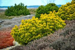 Borovice kleč 'Carsten´s Wintergold'- Pinus mugo 'Carsten´s Wintergold'