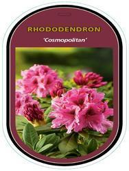 Rododendron (T) 'Cosmopolitan'-Rhododendron (T) 'Cosmopolitan' - 1