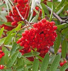 Jeřáb obecný Moravský sladkoplodý - Sorbus aucuparia Moravský sladkoplodý prostokořenný