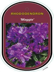 Rododendron 'Maggie' – Rhododendron 'Maggie'     - 1