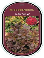 Rododendron (T) 'E. Red Foliage'-Rhododendron (T) 'E. Red Foliage' - 1