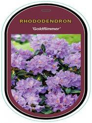 Rododendron (T) 'Goldflimmer' - Rhododendron (T) 'Goldflimmer' - 1