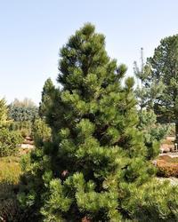 Borovice bělokorá 'Malinki' - Pinus leucodermis 'Malinki' - 1