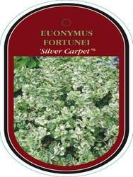 Euonymus fortunei 'Silver Carpet' - Brslen Fortuneův 'Silver Carpet' - 1