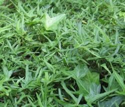 Břečťan popínavý 'Sagittifolia' - Hedera helix 'Sagittifolia'
