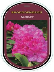 Rododendron (T) 'Germania' - Rhododendron (T) 'Germania' - 1
