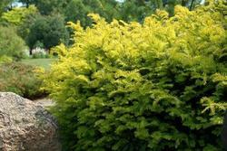 Tis červený 'Summergold' - Taxus baccata 'Summergold'        - 1