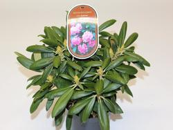 Rododendron (Y) 'Kalinka' – Rhododendron (Y) 'Kalinka' - 2