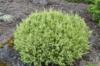 Cypřišek hrachonosný 'White Pygmy' - Chamaecyparis pisifera 'White Pygmy' - 2/2