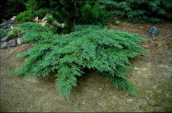 Jalovec chvojka 'Rockery Gem'  - Juniperus sabina 'Rockery Gem'            - 2