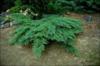 Jalovec chvojka 'Rockery Gem'  - Juniperus sabina 'Rockery Gem'            - 2/2