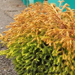 Zerav západní 'Golden Tuffet' - Thuja occidentalis 'Golden Tuffet'        - 2