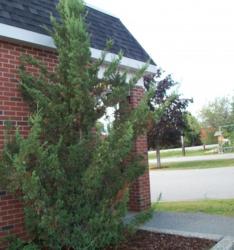 Jalovec čínský 'Kaizuka' - Juniperus chinensis 'Kaizuka'            - 2