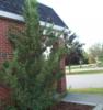 Jalovec čínský 'Kaizuka' - Juniperus chinensis 'Kaizuka'            - 2/2