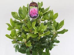 Rododendron (T) 'Claudine' -Rhododendron (T) 'Claudine'  - 2