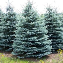 Smrk pichlavý 'Retroflexa' - Picea pungens 'Retroflexa'               - 2