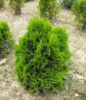 Zerav západní 'Miky' - Thuja occidentalis 'Miky'        - 2/2