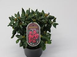 Rododendron 'Baden-Baden' – Rhododendron 'Baden-Baden'      - 2