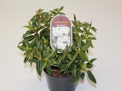 Rododendron 'Dora Amateis' – Rhododendron 'Dora Amateis'     - 2