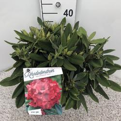 Rododendron (Y) 'Dopey' – Rhododendron (Y) 'Dopey'      - 2
