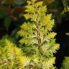 Cypřišek tupolistý 'Fernspray Gold' - Chamaecyparis obtusa 'Fernspray Gold' - 2/2
