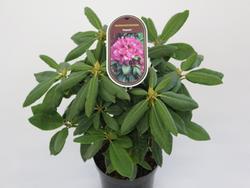 Rododendron (T) 'Rasputin' – Rhododendron (T) 'Rasputin'     - 2