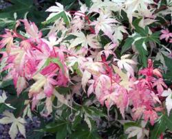 Javor dlanitolistý 'Oridono-Nishiki'-Acer palmatum 'Oridono-Nishik             - 2