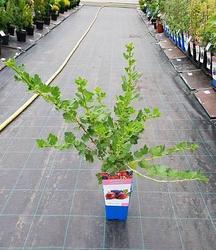 Angrešt červený 'Hinnonmaeki Rod' - Ribes uva-crispa 'Hinnonmaeki Rod' keřový - 2