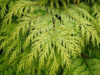 Cypřišek Lawsonův 'Golden Wonder' - Chamaecyparis lawsoniana 'Golden Wonder'  - 2/2