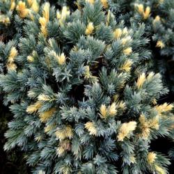 Jalovec šupinatý 'Floreant' - Juniperus squamata 'Floreant'            - 2