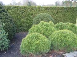 Borovice kleč 'Varella'- Pinus mugo 'Varella'                 - 2