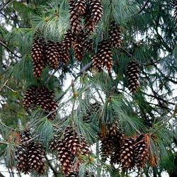 Borovice himalájská - Pinus wallichiana              - 2