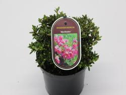 Rododendron 'Myrtilloides' – Rhododendron 'Myrtilloides'     - 2