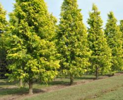 Metasekvoje čínská 'Gold Rush' - Metasequoia glyptostroboides 'Gold Rush' - 2