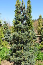 Borovice drobnokvětá 'Tempelhof' - Pinus parviflora 'Tempelhof'  - 2