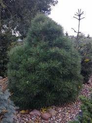 Borovice černá 'Nana Würstle' - Pinus nigra 'Nana Würstle' - 2