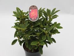 Rododendron (T) 'Sun Fire' ® – Rhododendron (T) 'Sun Fire' ®  - 2