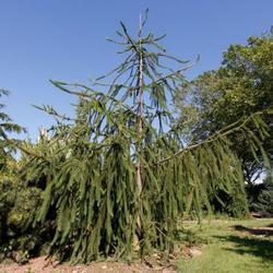 Smrk ztepilý 'Cranstonii' - Picea abies 'Cranstonii'                  - 2