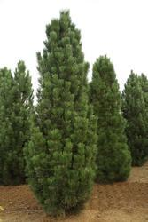 Borovice černá 'Obelisk' - Pinus nigra 'Obelisk'                 - 2
