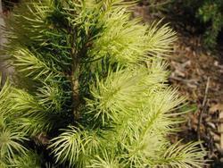 Smrk sivý 'J.W. Daisy´s White' - Picea glauca 'J.W. Daisy´s White' - 2